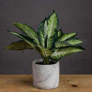 Variegated Leaf Dieffenbachia Plant in Marble Effect Pot